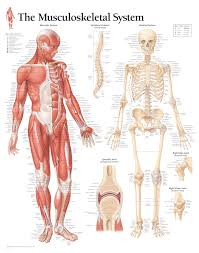 Anatomical Wall Charts Scientific Publishing