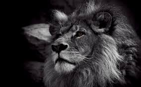 lion wallpaper black and white. Contemporary White Lion Black And White Wallpaper HD With