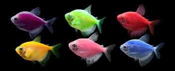 petco glofish. Simple Petco GloFish Tetras Inside Petco Glofish Q