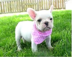 teacup blue french bulldog puppies. Unique Bulldog Teacup Blue French Bulldog Puppies Bulldogs For Wallpaper In Houston  The Dog With N