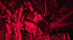 Coyote Hunting At Night With Red Light Coyote Hunt Youtube