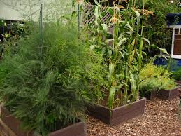 asparagus corn and garbanzo beans in christy wilhelmi s edible garden