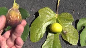 Trees Of Ohio Black WalnutGreen Fruit Tree Identification