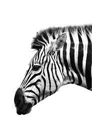 White Zebra Poster Bestellen Posterjunkie