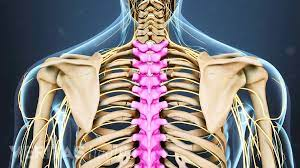 The slab will taper off at one end , with a more pronounced curvature where it meets the spine. Thoracic Spine Anatomy And Upper Back Pain