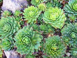 Sempervivum wulfenii - Wikispecies