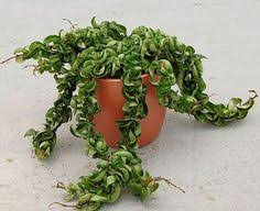 How To Care For a Hindu Rope Plant (Hoya Carnosa Compacta)
