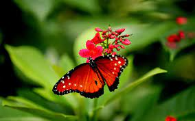Beautiful Butterfly Wallpapers Free ...
