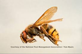 Wasps And Bees A Guide To Identifying Stinging Insects