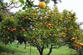 Estudo de poda feito na espanha, em laranjeira salustiana, deram bons resultados na redução da freqüência das podas anuais para intervalos superiores a 6 anos, sem haver redução do tamanho das laranjas salustiana, enquanto a&. Como Podar Planta De Limao Laranja E Tangerina Horta Em Casa
