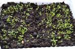Семена литопсов купить на алиэкспресс