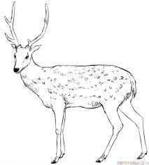 How To Draw A White Tailed Deer Step By Step Drawing Tutorials