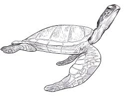 Small Picture sea turtle drawing pictures SEA TURTLES SEA TURTLE Steve