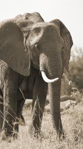 Elephant, family, tusk, grass 1242x2688 ...