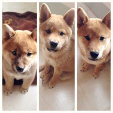 Corgi Puppy Growth Chart Shiba Inu Puppy Growth Chart 2 Months 3 1 2 Months 5