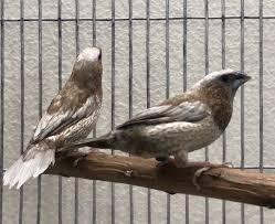Ex Reza Silver Pearl Society Finch | Pet rodents, Pet birds ...