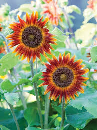 average american flower size big and small sunflower varieties different sunflower sizes hgtv