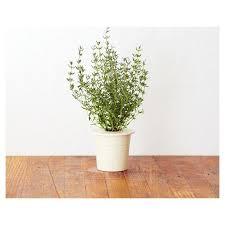 grow smart herb garden refill thyme 3pcs