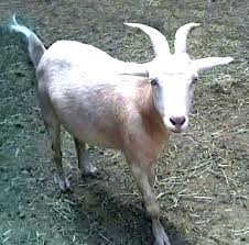 Goat Lice Goat Lice Treatment Selmanc