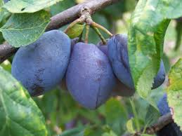 What Is A Purple Leaf Plum Learn About Growing Purple Leaf Plum TreesPurple Plum Tree Fruit