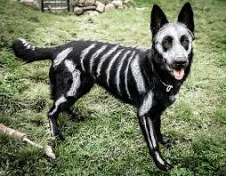 white and black german shepherd. Simple And Artist Turns Her Black German Shepherd Into An Adorable Skeleton Dog With  White NonToxic Face Paint In And