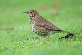 Song thrush - Wikipedia