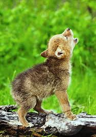 baby wolf. Simple Wolf Baby Wolf Cry Inside Wolf Y