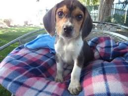 beagle puppy for in fresno ca usa