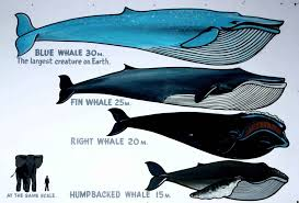 Whales By Size Chart Blue Whales