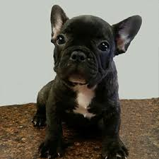 black french bulldog puppy. Simple French Frenchbulldogpuppyforsalebrindle On Black French Bulldog Puppy E