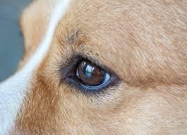 Eye Defects Congenital In Dogs