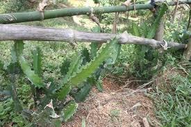 Tính năng của cây xương rồng trong chữa bệnh bệnh gai cột sống thắt lưng rất tốt