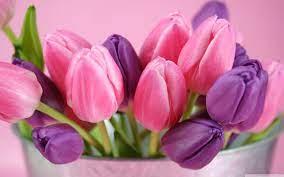 Tulip Desktop Wallpapers - Top Free ...