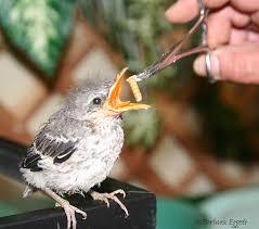Baby Bird Age Chart Baby Bird Identification Gallery