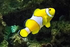 different colored clown fish. Wonderful Clown Clown Fish Different Colors LiveAquariacom Inside Different Colored Fish A