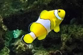 different colored clown fish. Perfect Clown Clown Fish Different Colors LiveAquariacom For Different Colored Fish A