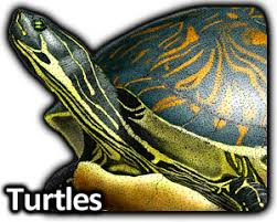 Small Picture Turtles Full Color Line Art Illustrations at InkArtnet