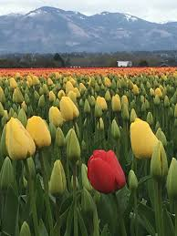 skagit valley tulip festival mount vernon address phone number skagit valley tulip festival reviews 4 5 5