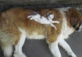 dog and cat sleeping together.  Sleeping Cutecatssleepingondogs4__605 With Dog And Cat Sleeping Together G