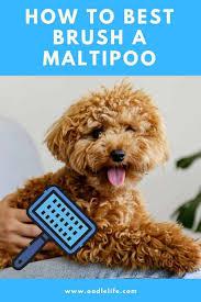 how do you brush a maltipoo hair care