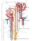Строение нефрона схема гистология