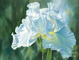 watercolor iris painting white iris by sharon freeman