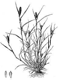 Crypsis (genus) - Wikipedia
