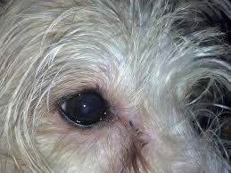 poodle eyes