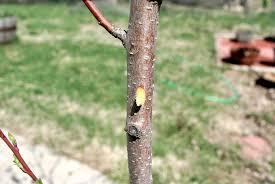 The Grass Rhizome Dormant Season Insect Control On Fruit TreesDormant Fruit Trees