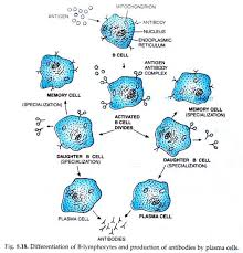 essay on lymphocytes and its types circulatory system humans  differentiate of b lymphocytes and production of antibodies by plasma cells