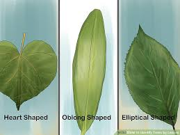 Ohio Leaf Identification Chart 3 Ways To Identify Trees By Leaves Wikihow