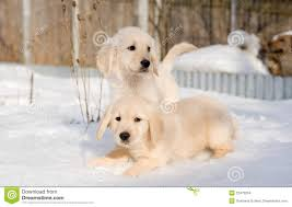 golden retriever puppies playing in snow. Contemporary Snow Two Golden Retriever Puppies In Snow To Golden Retriever Puppies Playing In Snow E