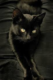 black cats with gold eyes.  Gold Velvety Black Kitten With Those Gorgeous Greengold Eyes In Black Cats With Gold Eyes N