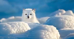 arctic fox fun facts churchill wild